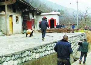 """大熊猫""""视察""""村寨,村民为其""""保驾护航""""。"""