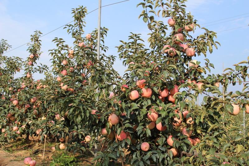 山东烟台:新品种苹果树果实活像一座苹果山