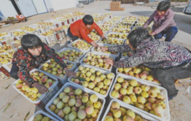 冬桃种百亩 亩亩挣三万
