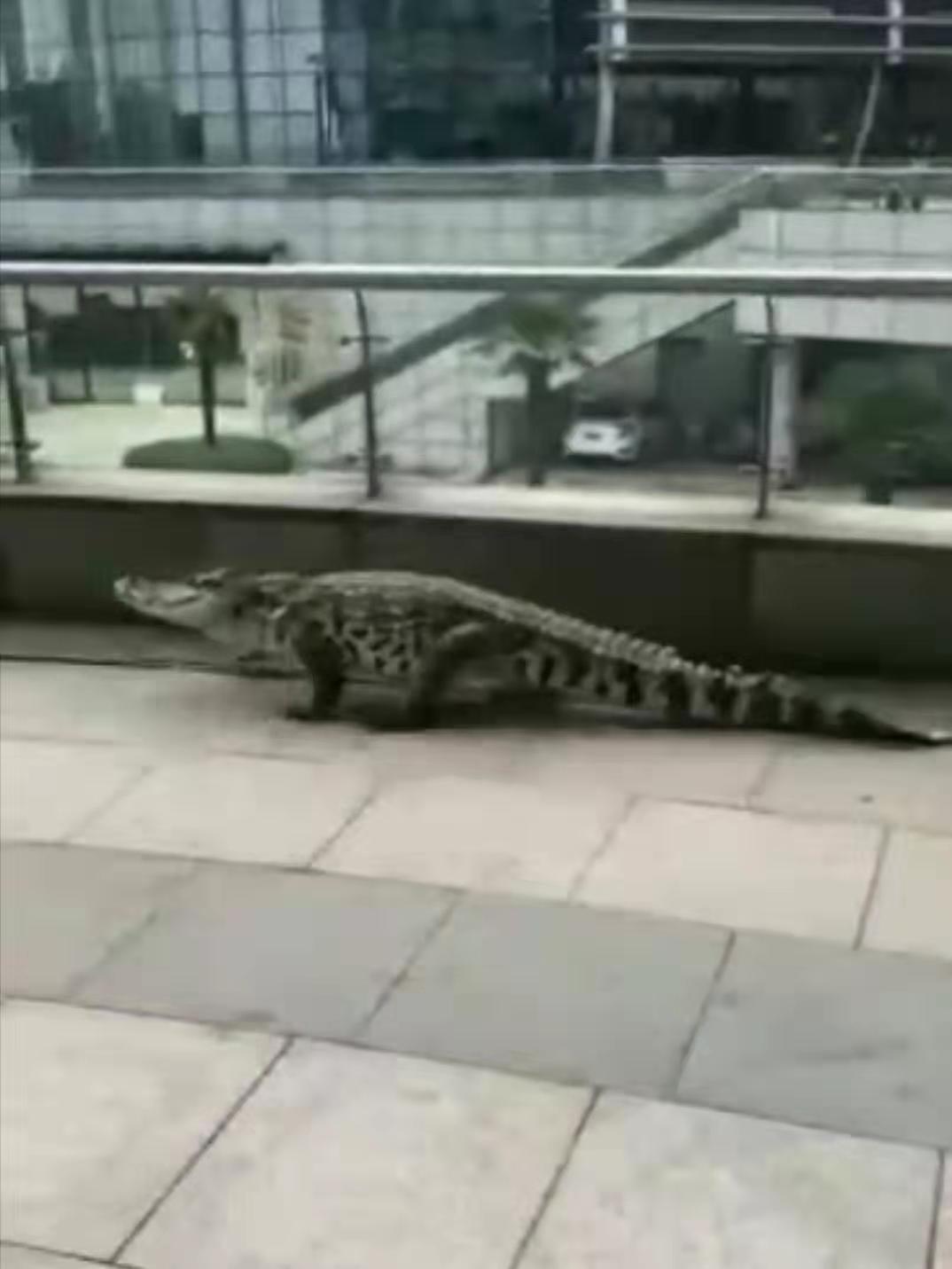 安徽芜湖因长江涨水有鳄鱼上岸?实为娱乐场所表演鳄鱼