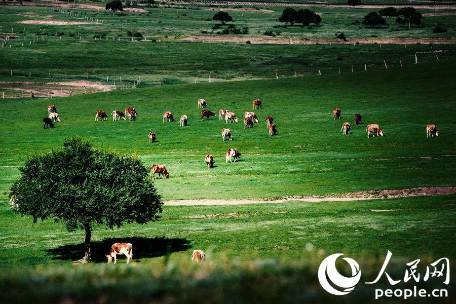成群的牛在牧场草原上低头吃草。谭雅摄