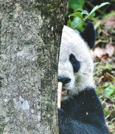 """刚回到家乡的大熊猫""""贝贝""""有点认生"""