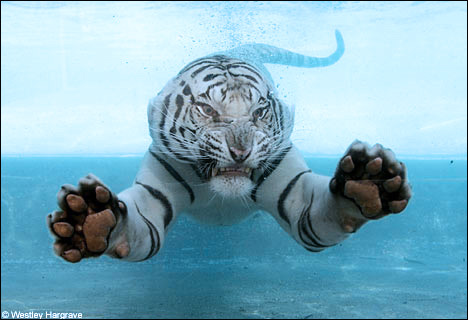 白虎骚屌_美国白虎喜欢游泳 泳姿堪比北极熊