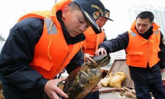 人民网广东3月21日电(记者杨应森、通讯员涂登科、黄勇哲摄影报道)记者从有关部门获悉,汕头海关近期查获大批涉嫌走私的活体野生动物。这批查获的野生动物中,包括圆鼻巨蜥5776只,马来西亚闭壳龟260只及眼镜蛇1170条,以及亚洲巨龟370只。   2月1日20时,汕头海关缉私局接获情报:有几十名搬运工在汕头市澄海莲下南湾丹锋沙场内聚集,场内码头已停有一艘无牌渔船,搬运工正从船上搬下箱状和袋状物品,极有可能正在走私野生动物。案情就是命令,该关缉私局领导高度重视,立即组织研究查缉方案,迅速开展海陆联合查缉行