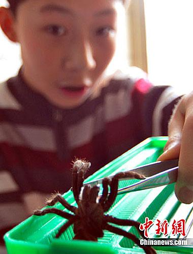 兰州13岁男孩迷恋毒蜘蛛当宠物 已有4年饲养经历