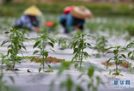 贵州玉屏:辣椒种植助农增收