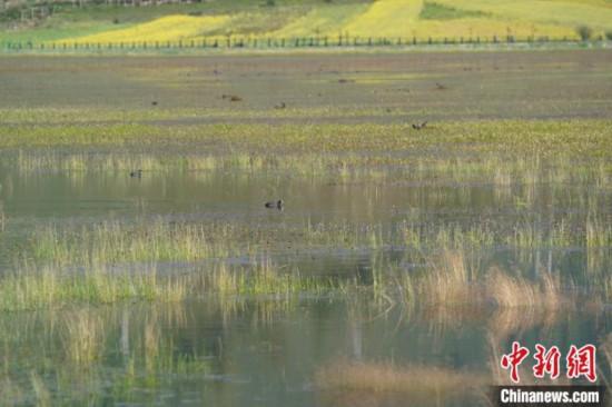 """香格里拉纳帕海:修复湿地生态留下""""远方的客人"""""""